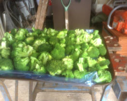 Our harvest of Broccoli