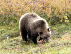 Grizzly bear: we saw about 11 of these