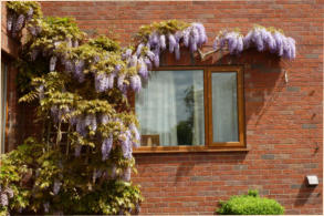Our Wysteria, again giving a lovely show