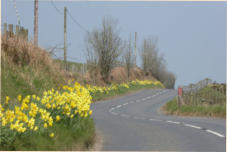 Road of daffodils in Wales